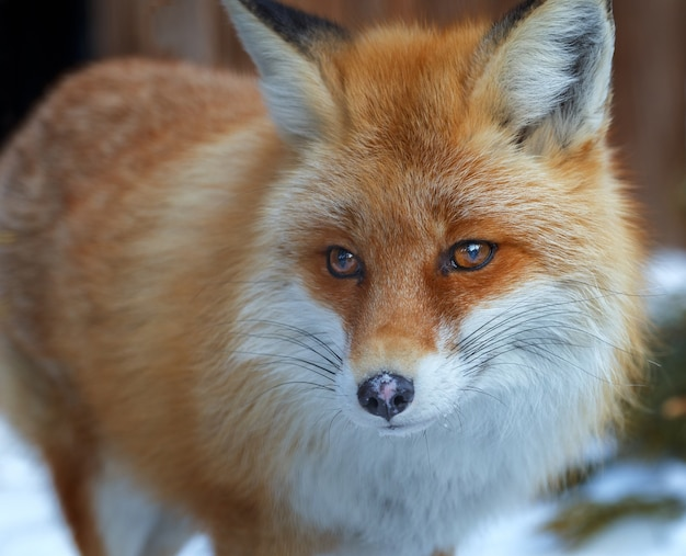 A fox in the zoo