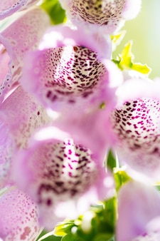 Foxglove는 줄기의 아래쪽 부분을 향해 타원형의 잎을 교대로 생성합니다.