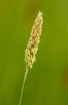 Foxtail grass inflorescence in bloom