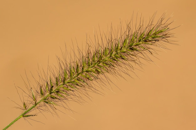 Foxtail grass inflorescence isolated on creamy background