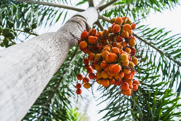 Foxtail palm fruit,red betel nut on palm tree