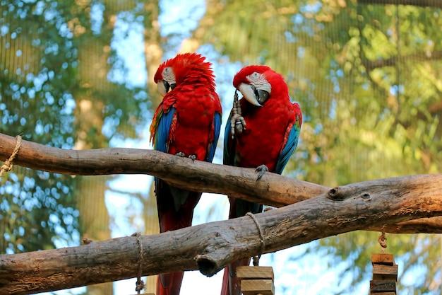木、foz do iguacu、ブラジル、南アメリカに並んでとまる2つのスカーレットコンゴウインコ