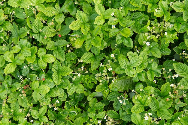 春の開花の野生のイチゴ植物、fragaria vescaの背景またはテクスチャ