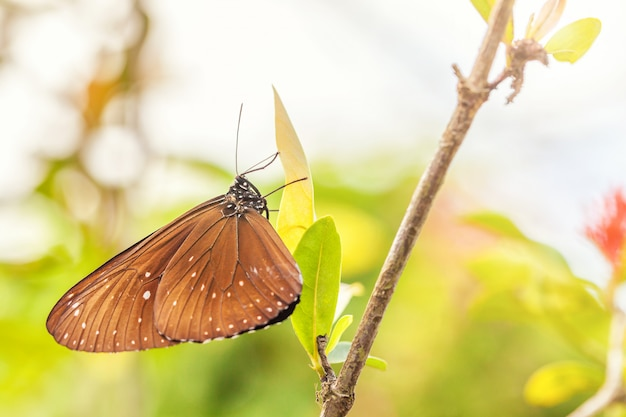 A fragile brown butterfly euploea sits on a green leaf