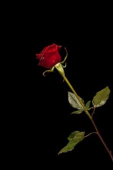 Fragile rose on black background