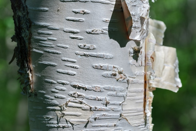 Fragment of birch tree trunk on summer close-up background in sunny weather. natural wild ecological concept.