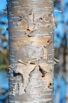Fragment of birch tree trunk with flaky birch bark on autumn background in sunny weather