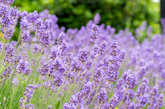Fragrant and blooming lavender flowers on a sunny day.
