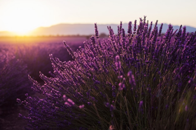 Fragrant lavender flowers at beautiful sunrise, valensole, provence, france