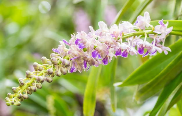 Fragrant orchids, aerides falcata lindl., white and purple, on green leaves.