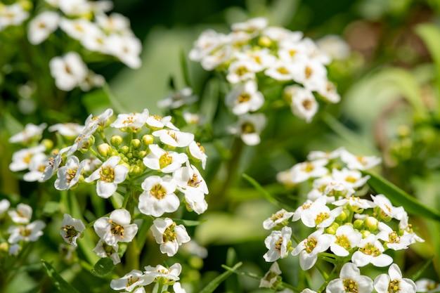 香り高くたっぷり咲く植物ロブラリアと白い花
