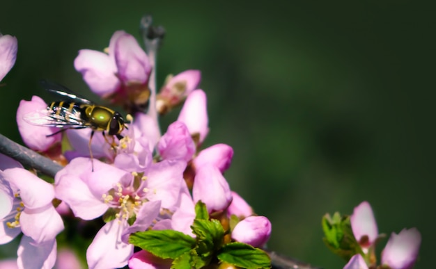 The fragrant smell of flowering peach attracted the attention of the bee.
