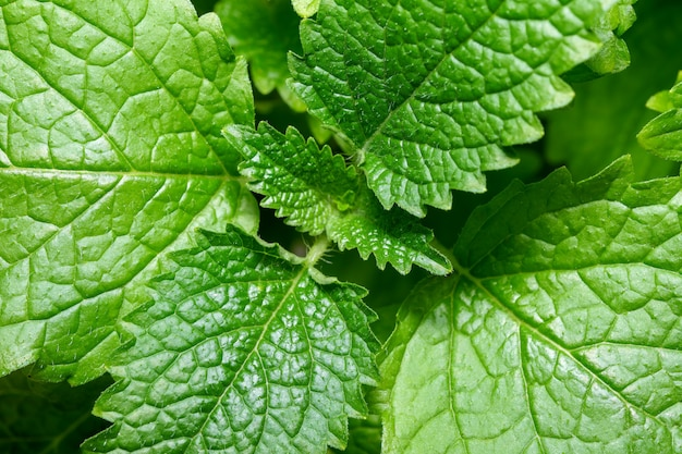 Fragrant spicy herb mint lemon balm young leaves close-up macro photography