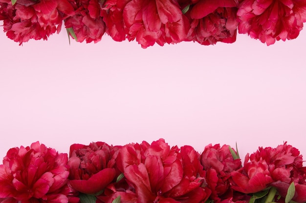 Frame of burgundy peonies on a pink surface