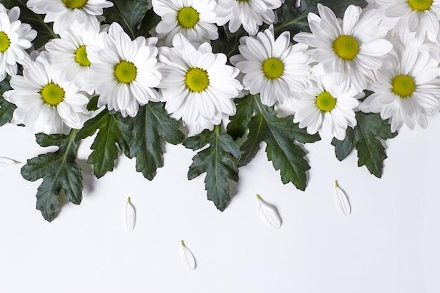コピースペースと白い背景の上の秋のカモミールlevcantemellaの大きな花からのフレーム
