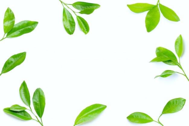 Frame made of citrus leaves on white background.