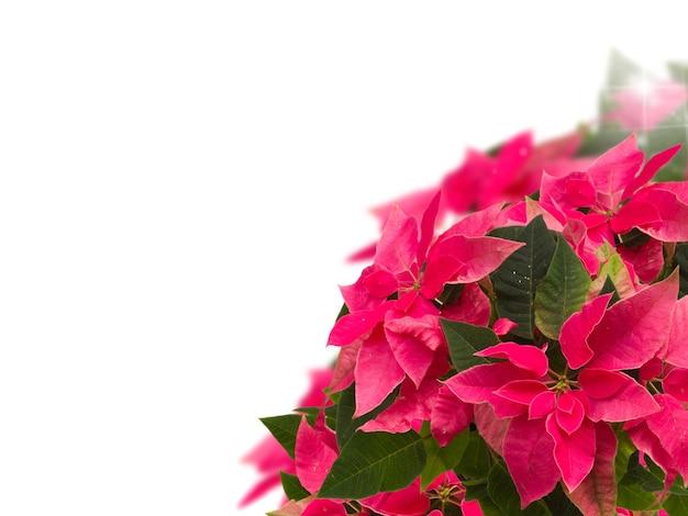 白い背景の上のピンクのポインセチアの花またはクリスマスの星のフレーム
