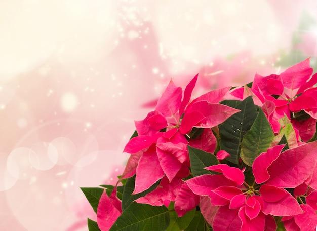 ピンクのボケ味の背景にピンクのポインセチアの花やクリスマスの星のフレーム
