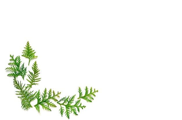 白い背景で隔離thujaの小枝のフレームです。