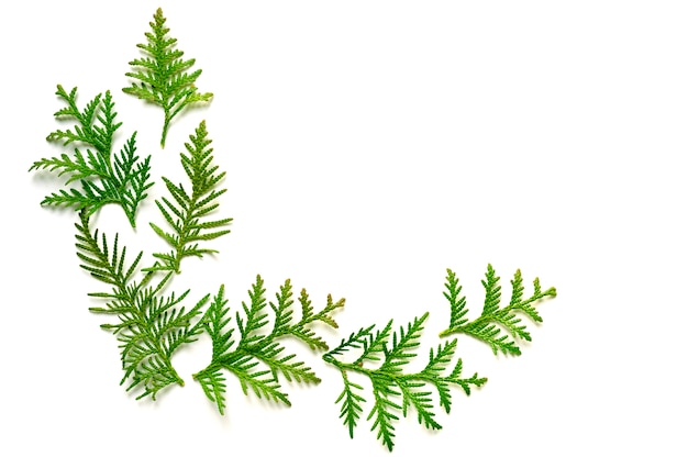 Frame of twigs of thuja isolated on a white background.