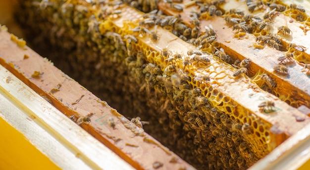 蜂の巣のフレーム。ミツバチが生息するフレームを示す開かれたハイブボディのクローズアップビュー。自然、昆虫。養蜂、