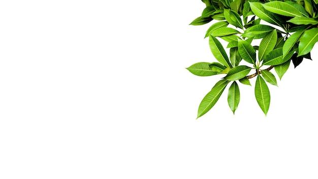 Франжипани темно-зеленый белый фон