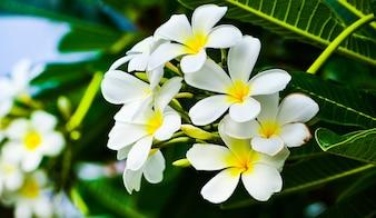 Frangipani flower beauty Plumeria Flower