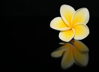 Frangipani flower, flora