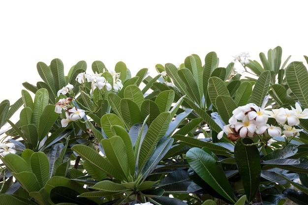 白い背景で隔離のフランジパニの花