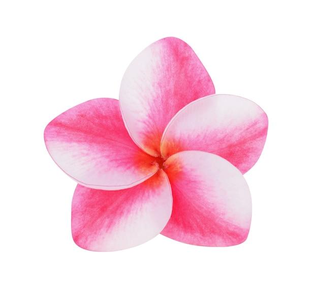 프랜지패니 꽃 흰색 배경에 고립