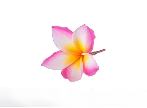白い背景に分離されたプルメリアの花