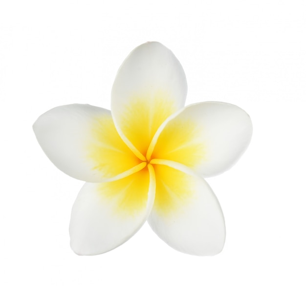 Цветок франжипани на белом фоне