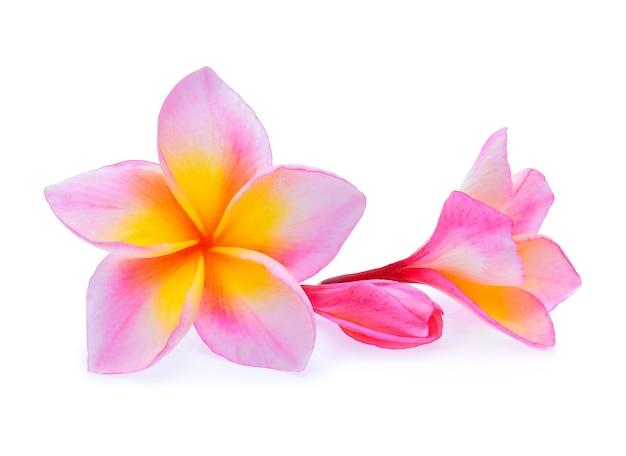 Frangipani 꽃 흰색 절연