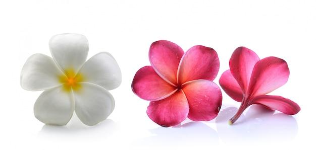 Frangipani flower isolated white space