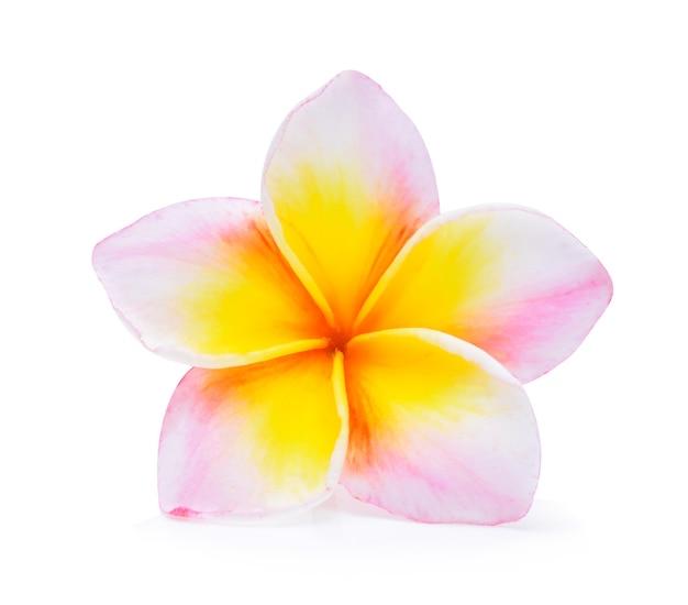 フランジパニの花は白を分離しました。
