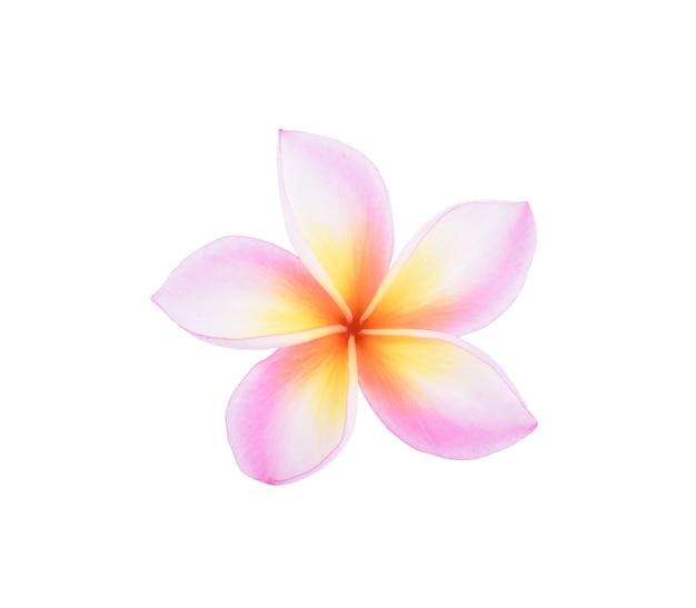 Frangipani 꽃 절연