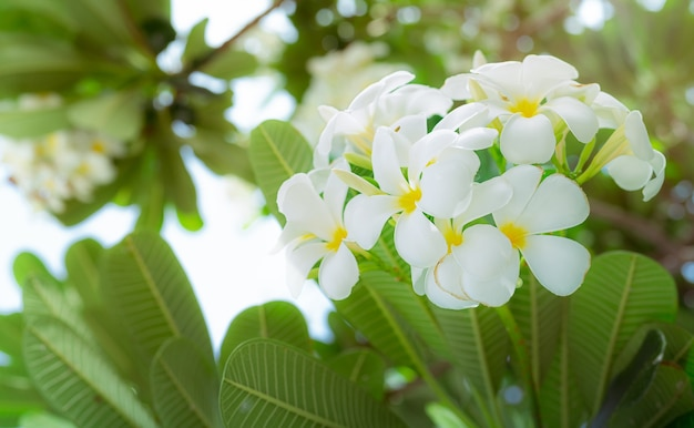 夏に緑の葉を持つフランジパニの花またはプルメリアアルバ。中央に黄色のプルメリアの花の優しい白い花びら。健康とスパの背景。トロピカルガーデンでおくつろぎください。テンプルツリー。