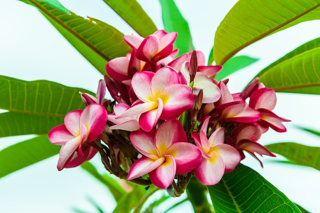 Frangipani flower on the tree in nature