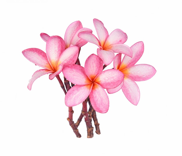Frangipani flower with drops of water isolated on white background