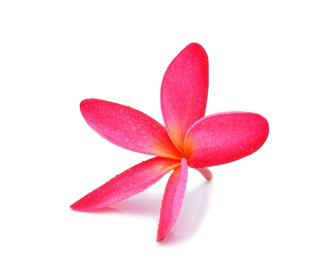 Цветок франжипани с каплями воды на белом