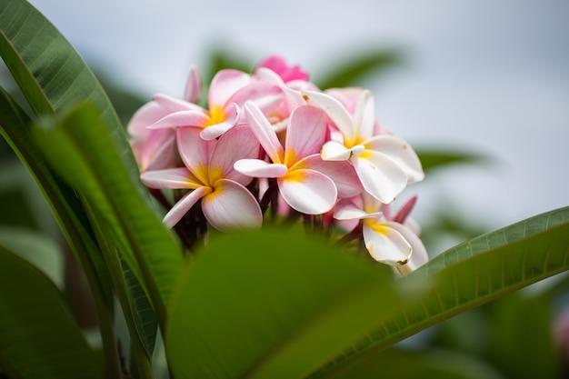 フランジパニの花が美しいプルメリアをクローズアップ