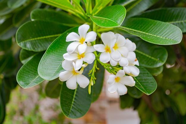 Frangipani flowers close up beautiful plumeria.