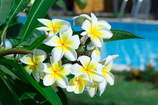 庭の木にフランジパニの花