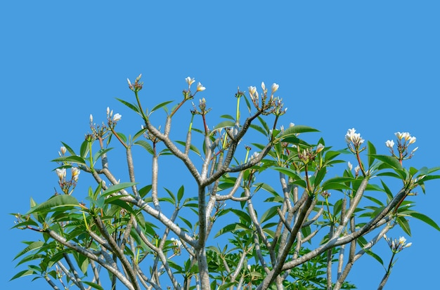 Frangipani는 apocynaceae 계통의 낙엽 관목 또는 작은 나무입니다.