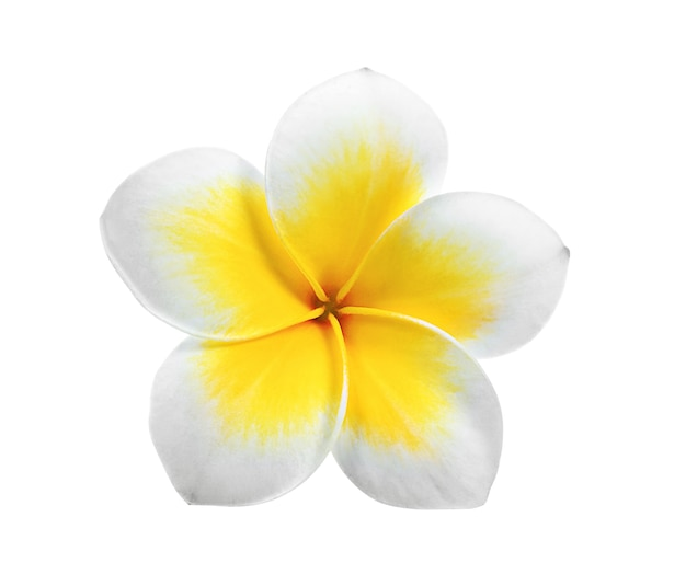 Frangipani isolated on white background