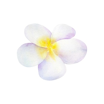 フランジパニまたはプルメリア。白い花。手描きの水彩イラスト。孤立。