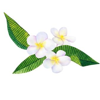 フランジパニまたはプルメリア。白い花と緑の熱帯の葉。手描きの水彩イラスト。孤立。