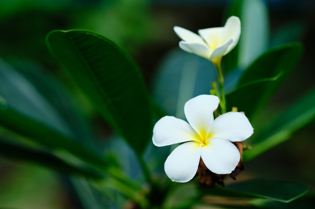 Frangipani белый тропический аромат цветочное дерево. plumeria blossom