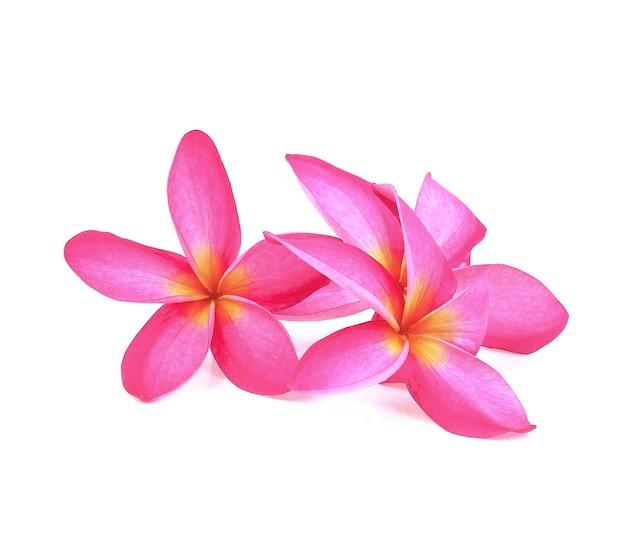 白地にフランジパニ(プルメリア)の花
