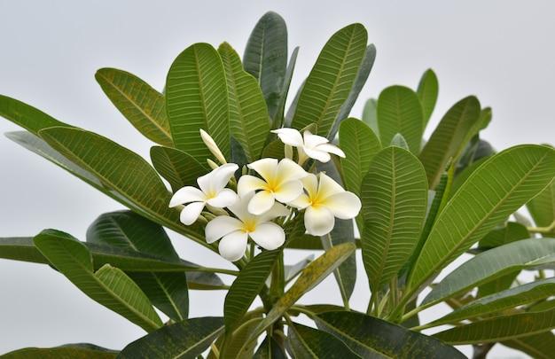 Frangipani, plumeria, 흰색 꽃.